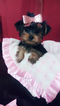 Yorkshire Terrier Puppy For Sale in SMYRNA, GA