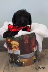 Labradoodle Puppy For Sale in FREDERICKTOWN, MO, USA