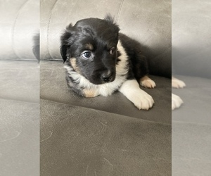 Australian Shepherd Puppy for sale in JEFF CITY, TN, USA