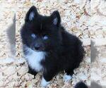 Small #4 Huskimo