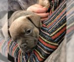 French Bullhuahua Puppy For Sale in LEAVENWORTH, WA, USA