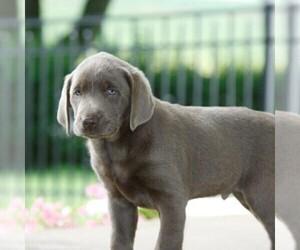 Labrador Retriever Puppy for sale in DANVILLE, PA, USA