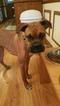 Boxer Puppy For Sale in LOGANVILLE, GA