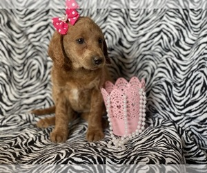 Labradoodle-Poodle (Miniature) Mix Puppy for sale in CEDAR LANE, PA, USA