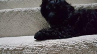 Shih Tzu Puppy For Sale in MYRTLE BEACH, SC, USA