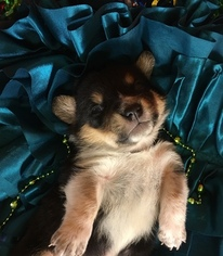 Cowboy Corgi Puppy For Sale in BEMIDJI, MN, USA