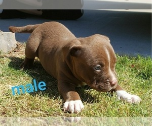 American Pit Bull Terrier Dog for Adoption in BRKN ARW, Oklahoma USA