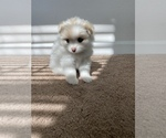 Small Photo #2 Pomeranian Puppy For Sale in SAN JOSE, CA, USA