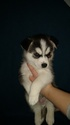 Siberian Husky Puppy For Sale in ILION, NY, USA