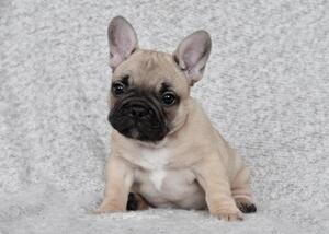 French Bulldog Puppy for sale in BLUE MOUND, TX, USA