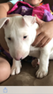 Bull Terrier Puppy For Sale in ALLENTOWN, PA, USA