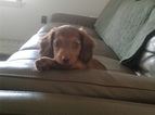 Dachshund Puppy For Sale in BROOMFIELD, CO, USA