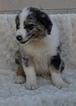 Australian Shepherd Puppy For Sale in ATWOOD, Illinois,