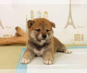 Shiba Inu Puppy for sale in ATLANTA, GA, USA