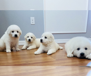 Great Pyrenees Puppy for sale in KISSIMMEE, FL, USA