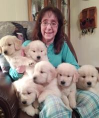 Golden Retriever Puppy For Sale in CLARKSVILLE, TN, USA