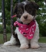 Havanese Puppy For Sale in TUCSON, AZ, USA