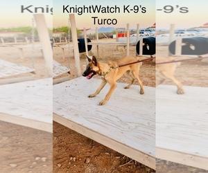 Belgian Malinois Puppy for sale in SIERRA VISTA, AZ, USA