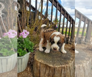 Saint Bernard Puppy for sale in COLBY, WI, USA