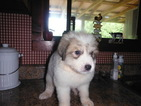 Great Pyrenees Puppy For Sale in BLUE CREEK, OH, USA