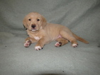 Golden Retriever Puppy For Sale in OKEECHOBEE, FL
