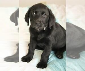 Labrador Retriever Puppy for sale in HARRIMAN, TN, USA