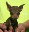 Miniature Pinscher Puppy For Sale in ELKLAND, MO, USA