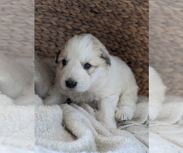 Medium Photo #17 Great Pyrenees Puppy For Sale in FALCON, CO, USA
