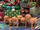 Labrador Retriever Puppy For Sale in REDWOOD CITY, CA