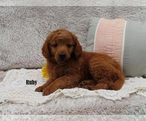 Goldendoodle Puppy for Sale in NEW HOLLAND, Pennsylvania USA