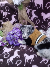 Border Collie Puppy For Sale in COATS, NC, USA