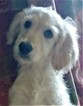 Goldendoodle Puppy For Sale in LOCUST GROVE, Georgia,