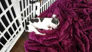 Boston Terrier puppies Western Washington
