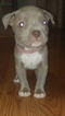 American Pit Bull Terrier Puppy For Sale in ELLENWOOD, GA, USA