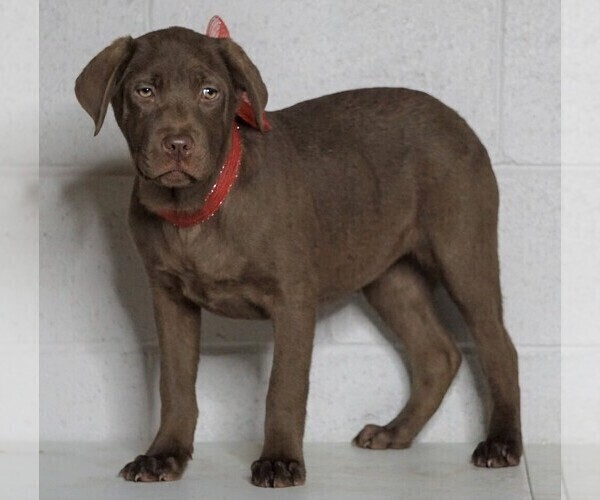 Medium Photo #1 Labrador Retriever Puppy For Sale in FREDERICKSBG, OH, USA