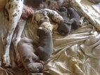 Great Dane Puppy For Sale in HALLSVILLE, TX