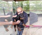 Small #95 Rottweiler