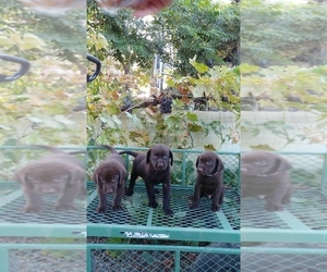 Labrador Retriever Puppy for Sale in FRESNO, California USA