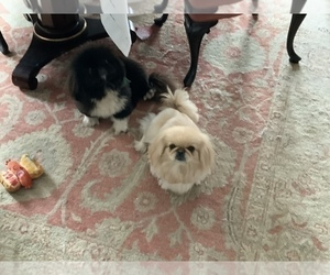 Pekingese Puppy for sale in SMITHFIELD, NC, USA