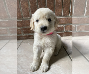 Golden Retriever Puppy for Sale in SANTA ANA, California USA