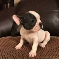 French Bulldog Puppy For Sale in MORENO VALLEY, CA, USA