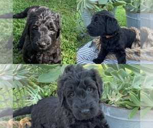 Goldendoodle-Poodle (Standard) Mix Puppy for Sale in PINEVILLE, Arkansas USA