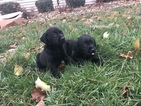 Labrador Retriever Puppy For Sale in LONDON, KY, USA