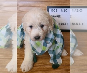 Pyredoodle Puppy for sale in MOORESVILLE, NC, USA