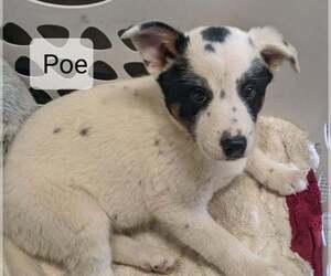 Australian Cattle Dog-Unknown Mix Puppy for sale in CLARKRANGE, TN, USA