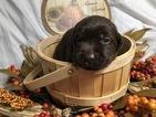 Small #19 Labrador Retriever