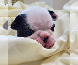 French Bulldog Puppy for Sale in MONTGOMERY, Alabama USA