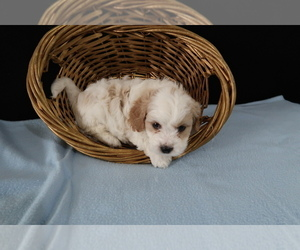 Cavachon Puppy for sale in CLEVELAND, OH, USA