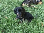 Dachshund Puppy For Sale in TULSA, OK, USA