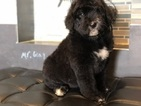 Bernedoodle Puppy For Sale in WILLIAMSTOWN, KY, USA